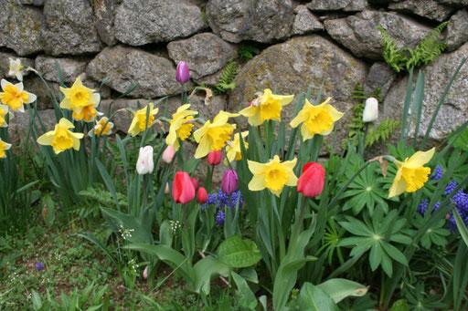 Parterre de jonquilles et tulipes