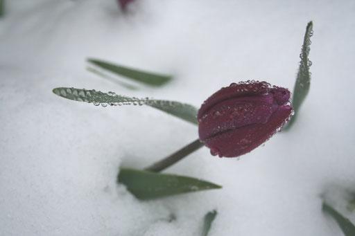 Tulipe sous la neige