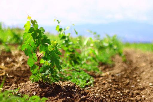Wir bieten nachhaltige Weine, großteils in Bioqualität.