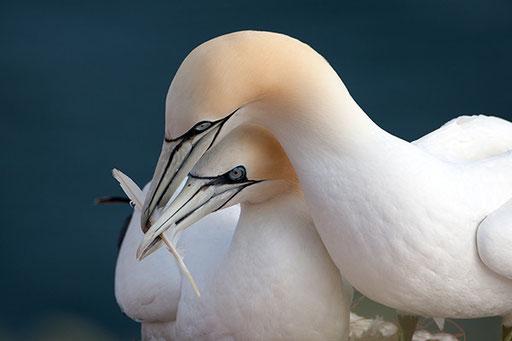 Basstölpel - Helgoland