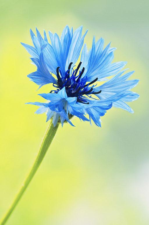 Blaue Kornblume