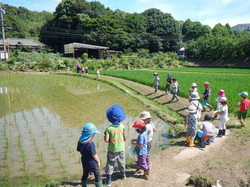 田んぼがすぐ側にあり、自分たちで田植えした稲の成長を見守ります。