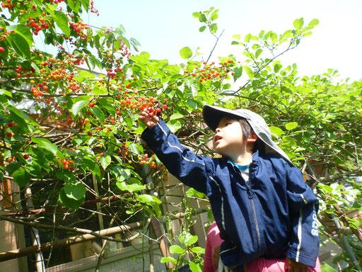 サクランボの収穫。季節の野菜や果物などは、子どもたちの大好きなおやつ!旬のおいしさを、五感で理解します。
