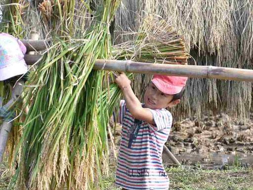 田植えから稲刈り、脱穀まで、園のすぐ側にある田んぼなので、すべてを見て、体験して学びます。