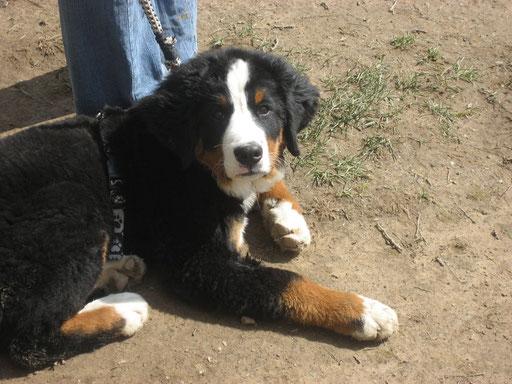 Gershwin in der Hundeschule 3 Monate