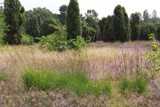 Heidelandschaft in Blüte