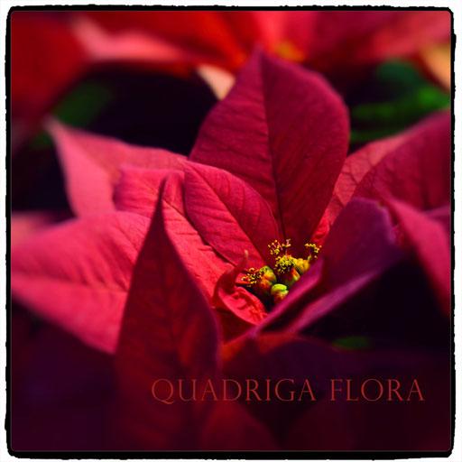 Weihnachtsstern oder Blume in Rot