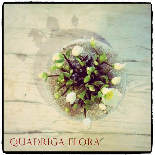 Advents- oder Weihnachtspflanze Christrose im Glas mit Steinen