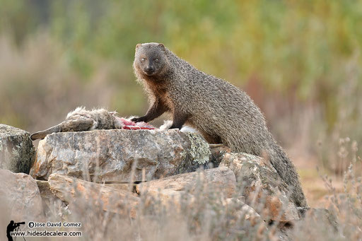 egiptian mongoose