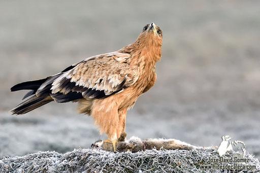 águila real fotografiado desde hide
