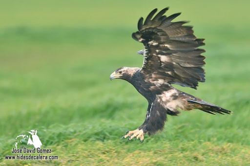 Imperial Eagle landing