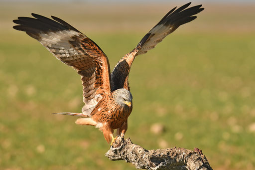 red kite from photohide