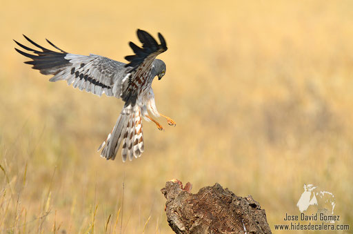 Montagu's harrier landing in a branche
