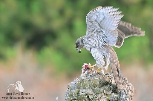 goshawk from photographed from photo hide