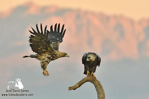 hide fotografico águila imperial