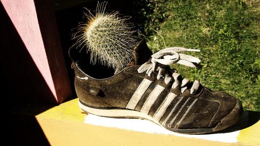 Kaktus im Schuh + cactus nella scarpa + cactus in the shoe