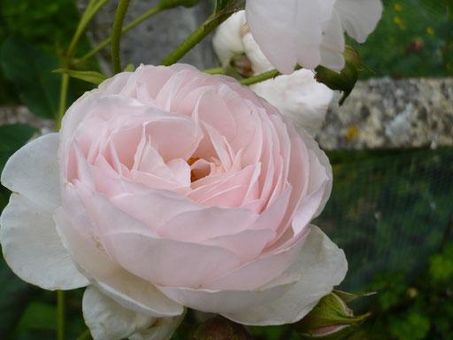 Rose 'Scepter d'Isle'