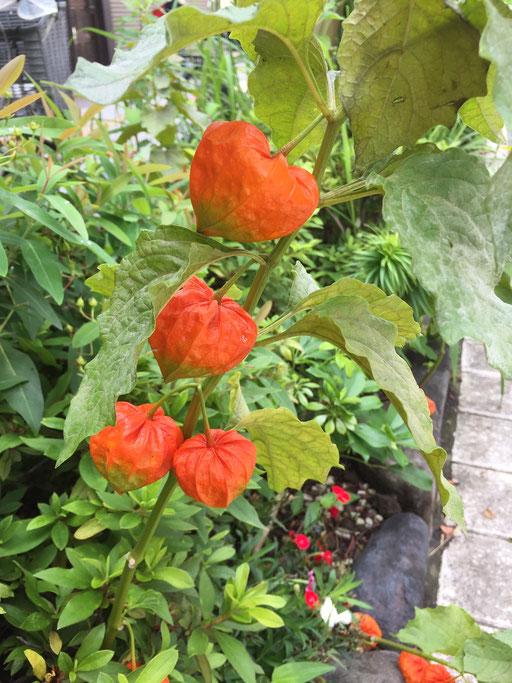 Hozuki, Japanese lantern plant