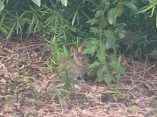 園地のウサギ