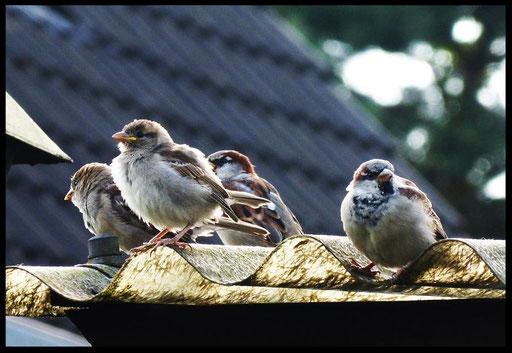Mussen , Mussen en Mussen-Kolonie_8