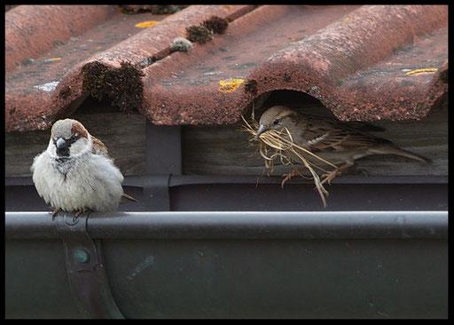 Mussen , Mussen en Mussen-Kolonie_2