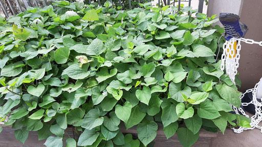 サツマイモも育てています。大きくなったら、芋掘りをして芋煮にして食べるそうです。子どもたちが自分で育てることで、食への興味も高まりますね。