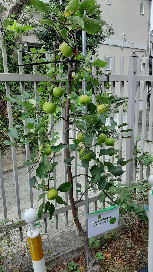 りんごの木です。この地域の姉妹都市とのプログラムの一環で植えたそうです。
