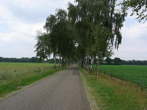 Eine Birkenallee auf dem Weg Richtung Heeze