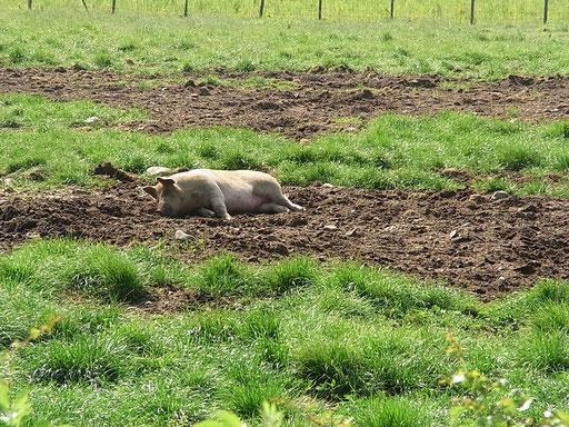 glückliches Livar-Schwein