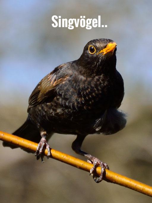 Singvögel..