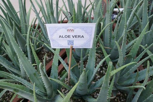 Aloe Vera - Pflanze der Unsterblichkeit