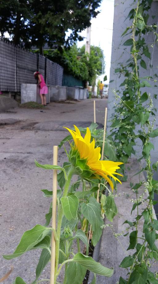Tournesol dans la ruelle verte - le raccourci
