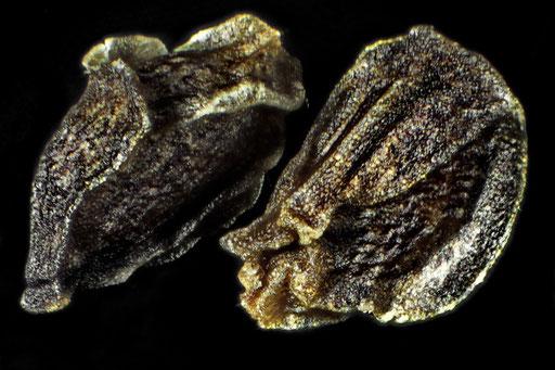 Samen Nachtkertze Oenothera biennis