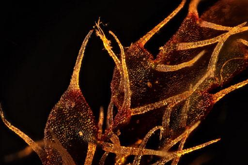 Blattausschnitt Begonie  Begonia Rex