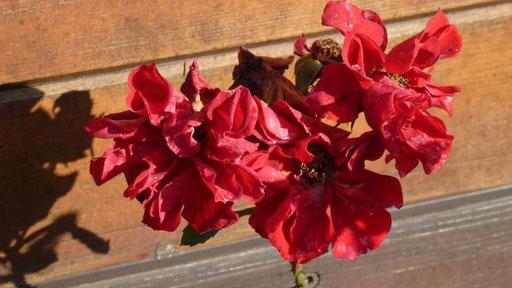 An der Gitane blühen die letzten Rosen