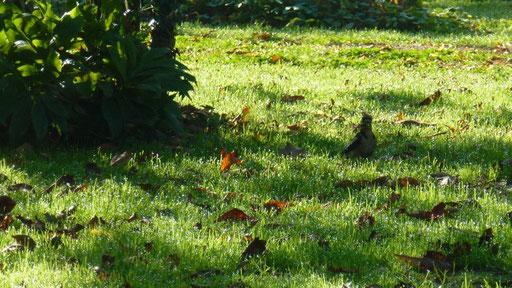 Ein Specht besucht den Garten