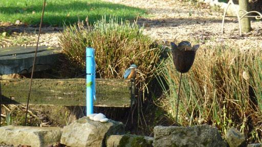 Der Eisvogel beehrt uns mehrmals täglich. Immer eine Wucht zu sehen.