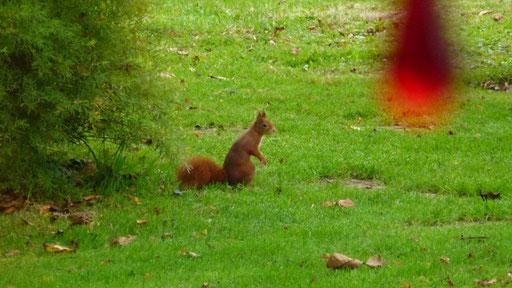 Das Eichhörnchen vergräbt noch ein paar Nüsse - der Winter kann kommen