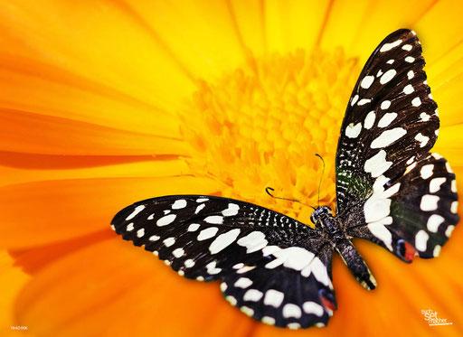 """""""Schwarz/weißer Schmetterling"""" SKU: 16_62_006"""