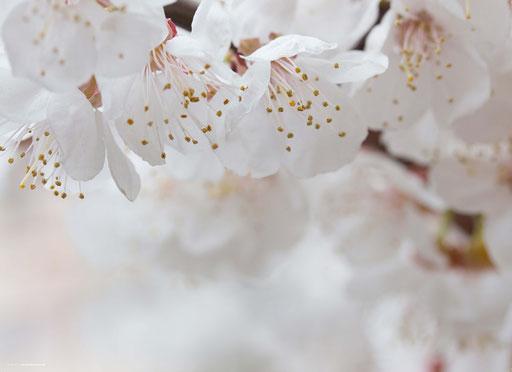 """""""Apfelblüten"""" SKU: 18_09_015"""