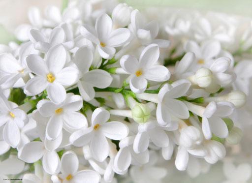 """""""Weiße Blüten"""" SKU: 18_64_101"""