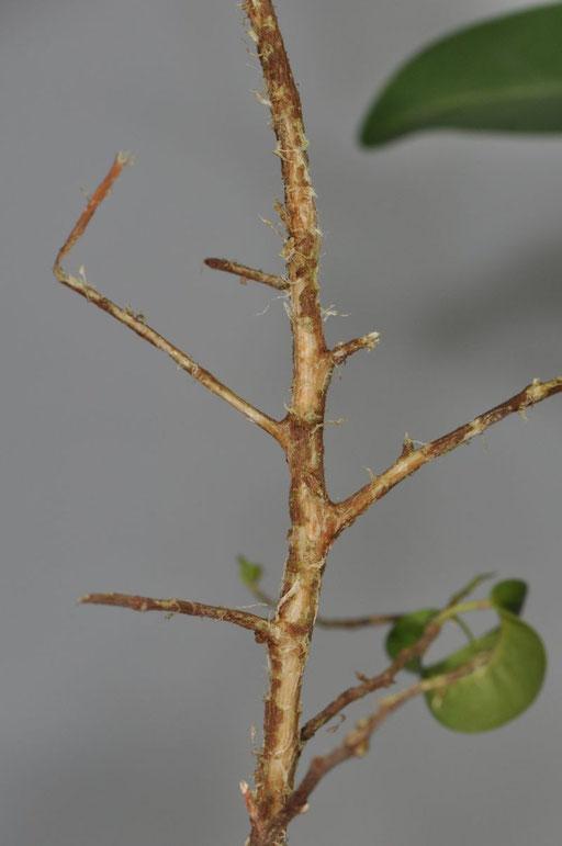 Fraßspuren Ficus benjamini