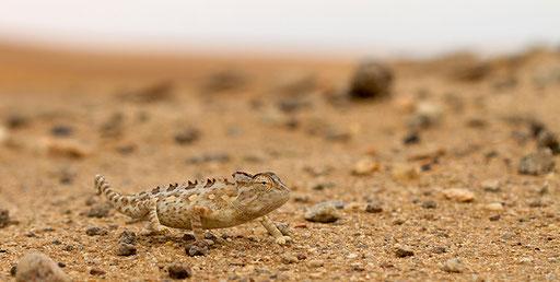 Camélon namaqua (Namibie)