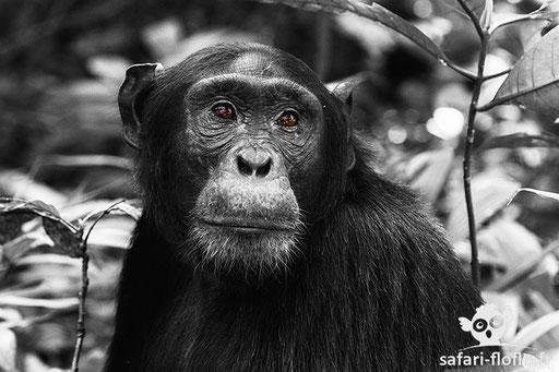 Chimpanzé (Ouganda)