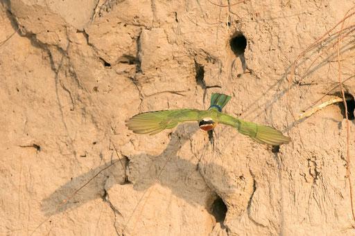 Guépier à front blanc sortant de son nid (Kwando River, Namibie)