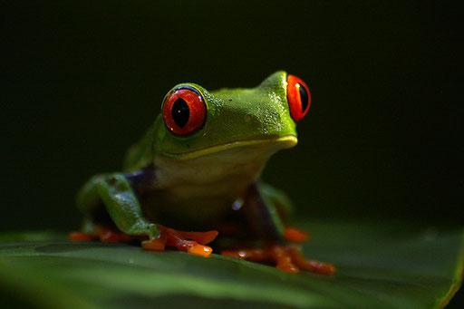 Rainette aux yeux rouges - Tortuguero (Costa Rica)