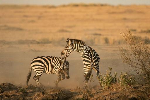 Zèbres males se bagarrant pour les femelles (Masai Mara, Kenya)