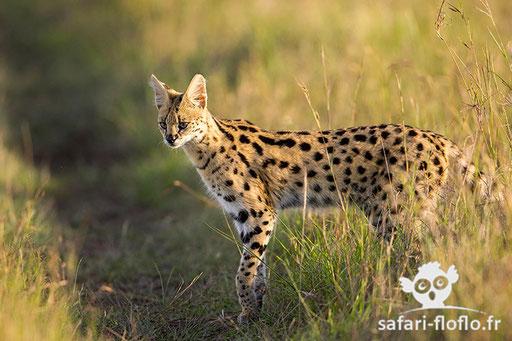 Serval (Kenya)