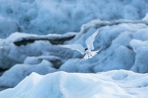 Sterne Arctique (Islande)