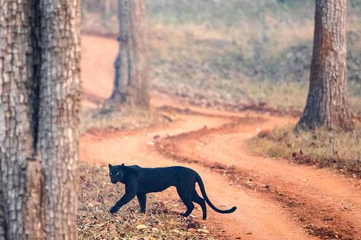 Léopard Noir (Nagarahole National Park, Inde)